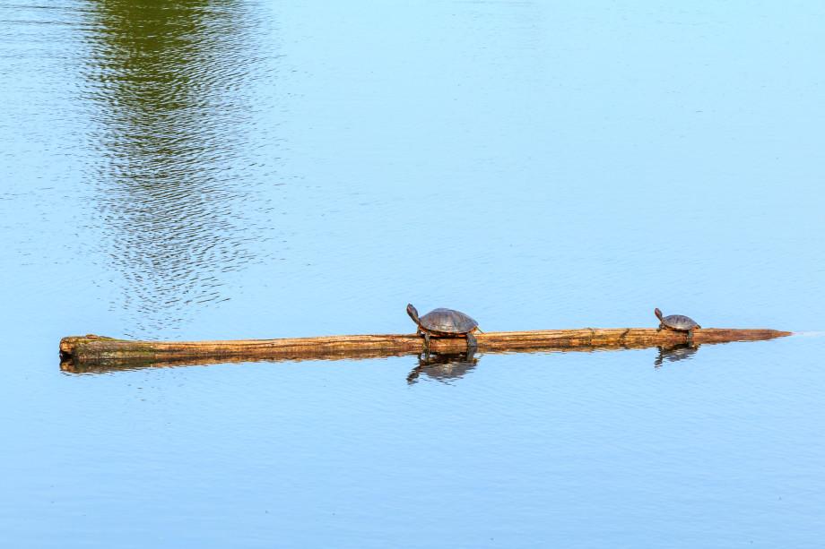 TurtlesCathersLake